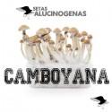 Comprar Kit Setas Camboyanas 100% Micelio