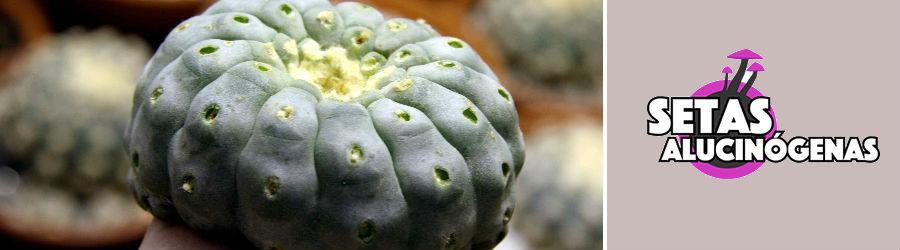 Peyote Cactus, comprar online en setas alucinogenas, BARATO Y DISCRETO