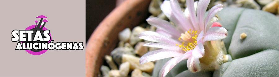 Flor de Peyote online comprar setasalucinogenas.net