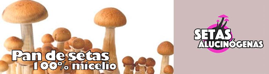 Setas alucinogenas 100% micelio