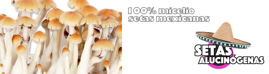 Setas mexicanas 100% micelio kit de pan de setas mexicana